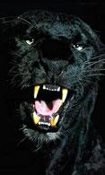 HTC Desire wallpaper showing black panther