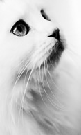 White cat wallpaper 480x800