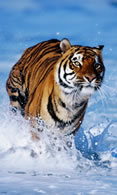 Wallpaper tiger 480x800